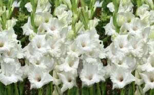 گلایل 300x186 - نکات مهم برای خرید گل ترحیم
